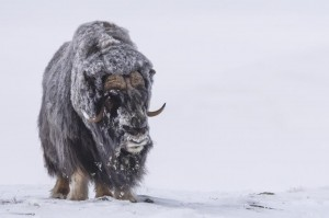 Peter_van_der_Veen-Petersmoments- 2019 muskox_DSC9586